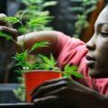 Be A Marijuana Grower And Neer Get Caught